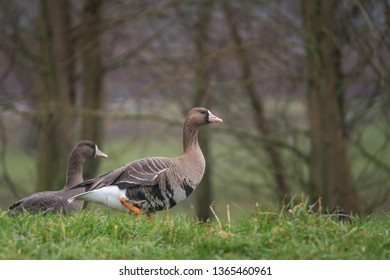 White-fronted goose standing in the grass