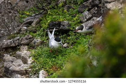 A White-fronted Tern Parent with Screaming Offspring