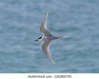 White-fronted Tern (Sterna striata) in Flight