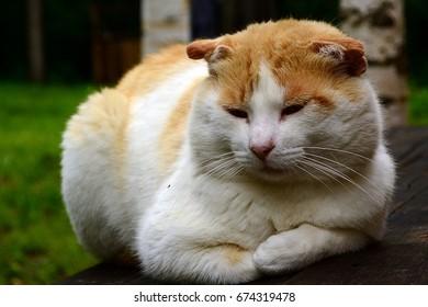 A white-ginger cat