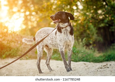 White-gray and black big dog with leash walking on sand