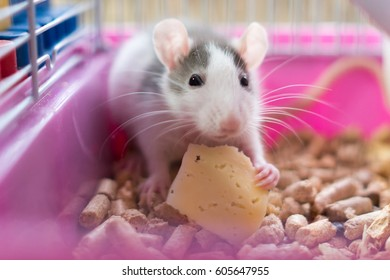 White-grey rat eating cheese in the cage