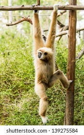 white-handed gibbon in chiangmai zoo chiangmai Thailand