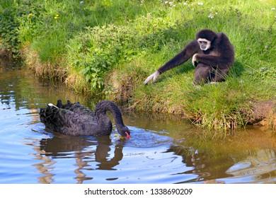 White-handed gibbon or white-handed gibbon (Hylobates lar) and black swan (Cygnus atratus) on water