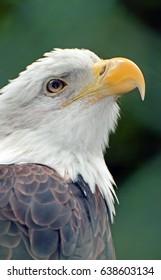 Whitehead eagle