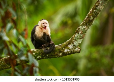 White-headed Capuchin, black monkey sitting on tree branch in the dark tropic forest. Wildlife Costa Rica. Monkey with open muzzle with tooth. Angry monkey.