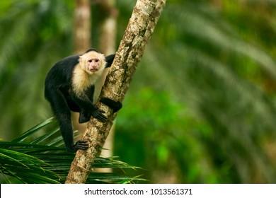 White-headed Capuchin, black monkey sitting on tree branch in the dark tropic forest. Wildlife Costa Rica.