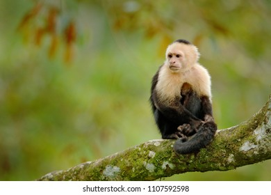 White-headed Capuchin, black monkey sitting on tree branch in the dark tropical forest.  Wildlife of Panama. Travel holiday in Central America.