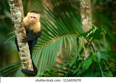 White-headed Capuchin, black monkey sitting on palm tree branch in the dark tropical forest. Wildlife of Costa Rica. Travel holiday in Central America.