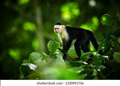 White-headed Capuchin, black monkey sitting on tree branch in the dark tropic forest. Wildlife Costa Rica. Monkey eating banana