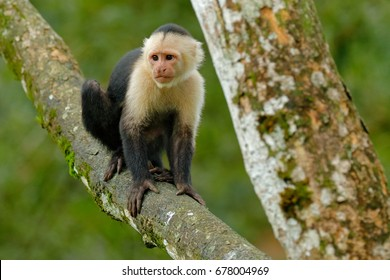 White-headed Capuchin, black monkey sitting on the tree branch in the dark tropical forest. Cebus capucinus in gree tropic vegetation. Animal in the nature habitat.