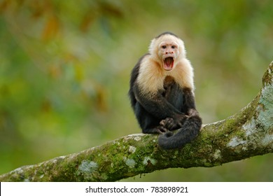 White-headed Capuchin, black monkey sitting on tree branch in the dark tropical forest. Wildlife of Costa Rica. Travel holiday in Central America. Open muzzle with tooth.
