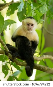 White-headed capuchin (Cebus capucinus), also known as the white-faced capuchin or white-throated capuchin. Taken in Costa Rica. They are highly social, living in groups of 16 individuals on average