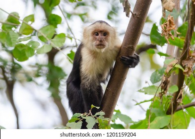 White-headed Capuchin (Cebus capucinus) in Palo Verde National Park, Costa Rica