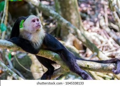 White-headed capuchin monkey (Cebus capucinus) resting in National Park Manuel Antonio - Costa Rica