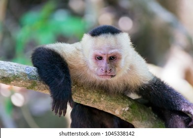 White-headed capuchin monkey (Cebus capucinus) resting in National Park Manuel Antonio - Costa Rica