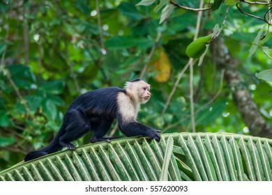 White-headed capuchin monkey (Cebus capucinus) in Cahuita National Park, Costa Rica