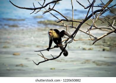 White-headed capuchin monkey hanging in a tree