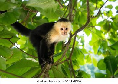White-Headed Capuchin monkey in Manuel Antonio, the rainforest of Costa Rica