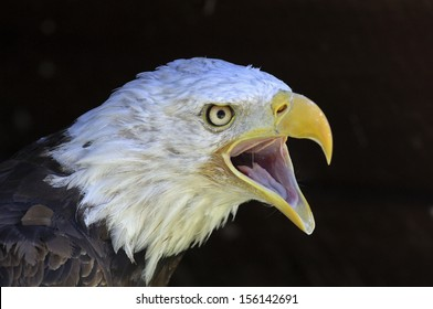 white-headed eagle