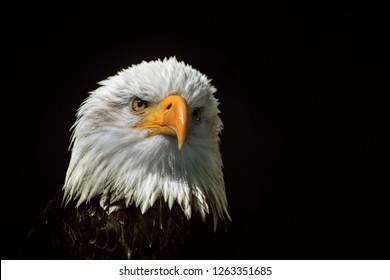 White-headed eagle heraldic bird of the United States of America / Bald Eagle heraldic animal of the United States of America