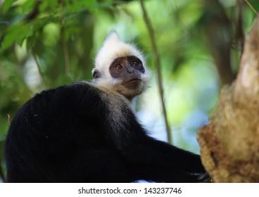 white-headed langur