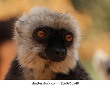 The white-headed lemur (Eulemur albifrons), also known as the white-headed brown lemur, white-fronted brown lemur, or white-fronted lemur - a male