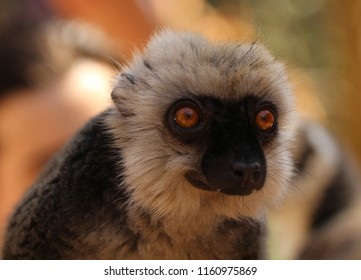 The white-headed lemur (Eulemur albifrons), also known as the white-headed brown lemur, white-fronted brown lemur, or white-fronted lemur  and adult male