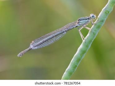 White-legged damselfly - Platycnemis pennipes - female