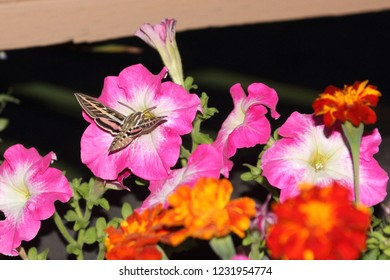A White-line Sphinx Moth, called Hummingbird Moth rests on colorful petunias