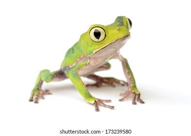 White-lined leaf frog (Phyllomedusa vaillanti)