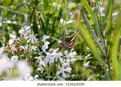 White-lined sphinx or hummingbird moth (Hyles lineata)
