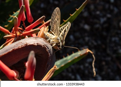 White-lined Sphinx  Hyles lineata, AKA a Hummingbird Moth. A large and beautiful winged insect resting on the flowers of an aloe plant. Pima County, Tucson, Arizona. 2019.