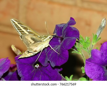 White-lined Sphinx (Hyles lineata) feeds on nectar of a garden flower in Illinois