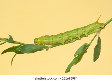 White-lined Sphinx Moth caterpillar feeding on its natural host plant Common Knotgrass, Polygonum aviculare