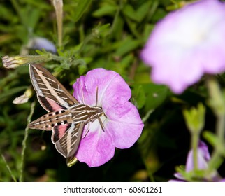 White-Lined Sphinx Moth feeding on a Petunia flower