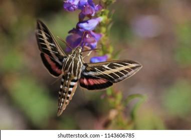 White-lined Sphinx moth feeding from penstemon flower