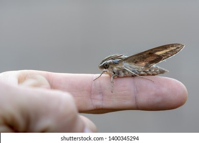 A white-lined Sphinx moth (Hummingbird Hawk Moth) on a finger.
