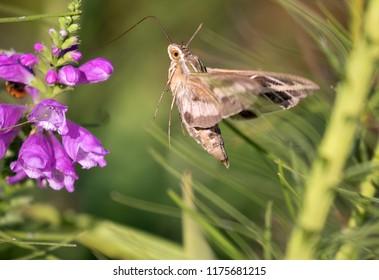 White-Lined Sphinx Moth (Hyles lineata, Sphingidae, Lepidoptera) feeding on flowers