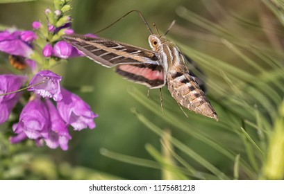 White-Lined Sphinx Moth (Hyles lineata)  feeding on flowers