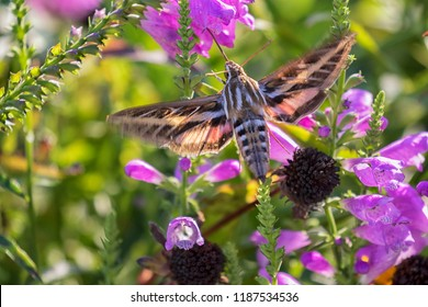 White-Lined Sphinx Moth (Hyles lineata)  flying