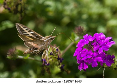 White-lined Sphinx moth (Hyles lineata) on Homestead Purple Verbena (Verbena canadensis 'Homestead Purple'), Marion County, Illinois
