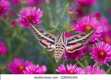 White-lined Sphinx moth (Hyles lineata) on Alma Potschke Aster (Aster novae-Angliae 'Alma Potschke'), Marion County, Illinois