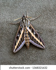 A White-Lined Sphinx moth (Hyles lineata) resting on the side of upholstered furniture.