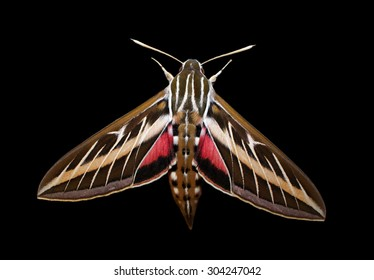 White-lined Sphinx Moth (Hyles lineata ) Isolated on a Black Background