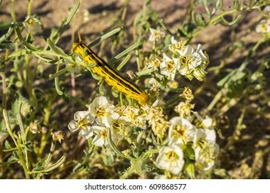 White-lined Sphinx moth (Hyles lineata) caterpillars feeding, Anza Borrego Desert State Park, San Diego county, California