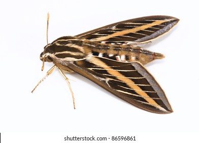 White-lined Sphinx Moth, hyles lineata, Sphingidae family, The fore wing is dark brown with a tan stripe which extends from the base to the apex. There are also white lines that cover the veins.