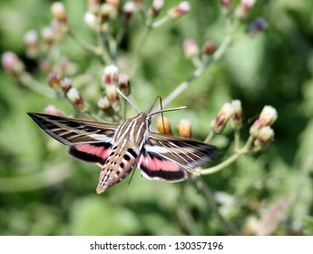 White-lined Sphinx Moth in Mexico