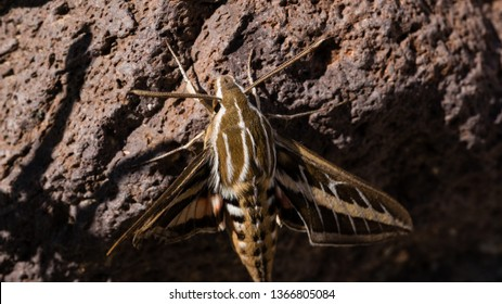 White-lined Sphinx Moth on a rock