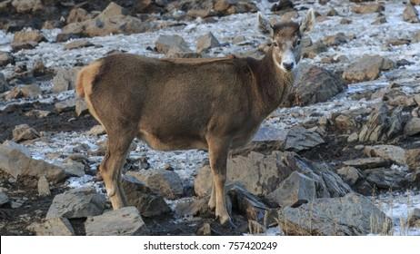 White-Lipped Deer (Przewalskium albirostris or Thorold Deer) in a mountainous Tibetan Area, China